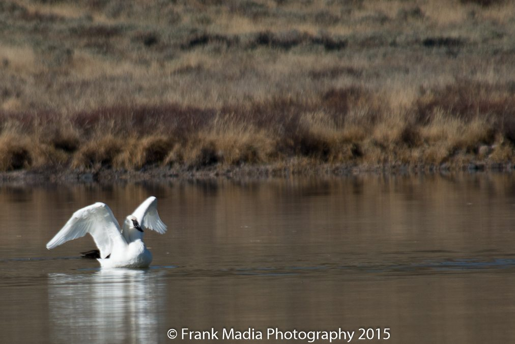 A bright sunny day with calm winds. There were two swans on Swan Lake. We got down to the shore line to get the closest possible shots. Also captured a few images of the fresh snow on the mountains to the west of the lake.