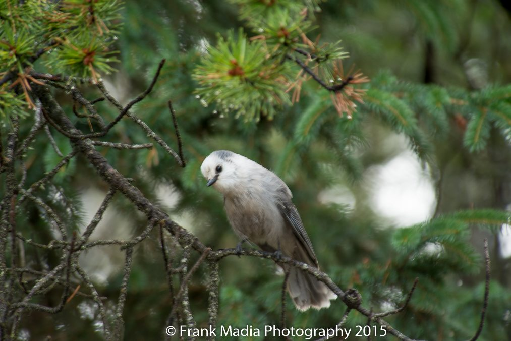 A Gray Jay right out of our living room window.