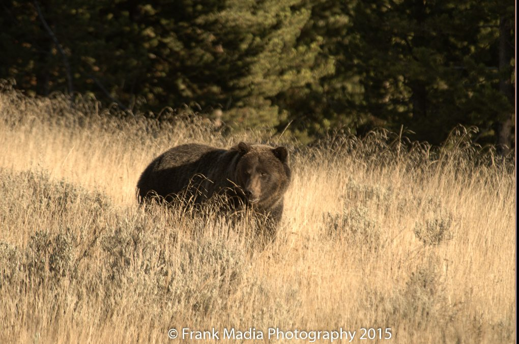 Grizzly Bear near Canyon Village.