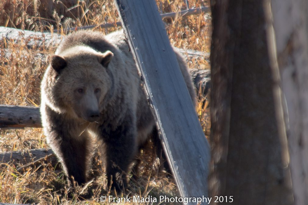 Grizzly Bear Sow with Cub at the 9 Mile Trailhead along the shore of Yellowstone Lake. The bears were backlit, so I got the best shots available. I was there with 25 or so other people. This is the same pair that Ken got so many good images of in the same general vicinity