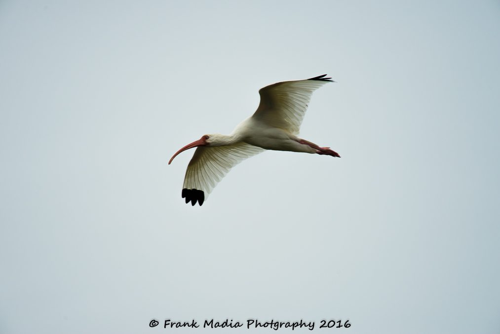 White Ibis In Flight
