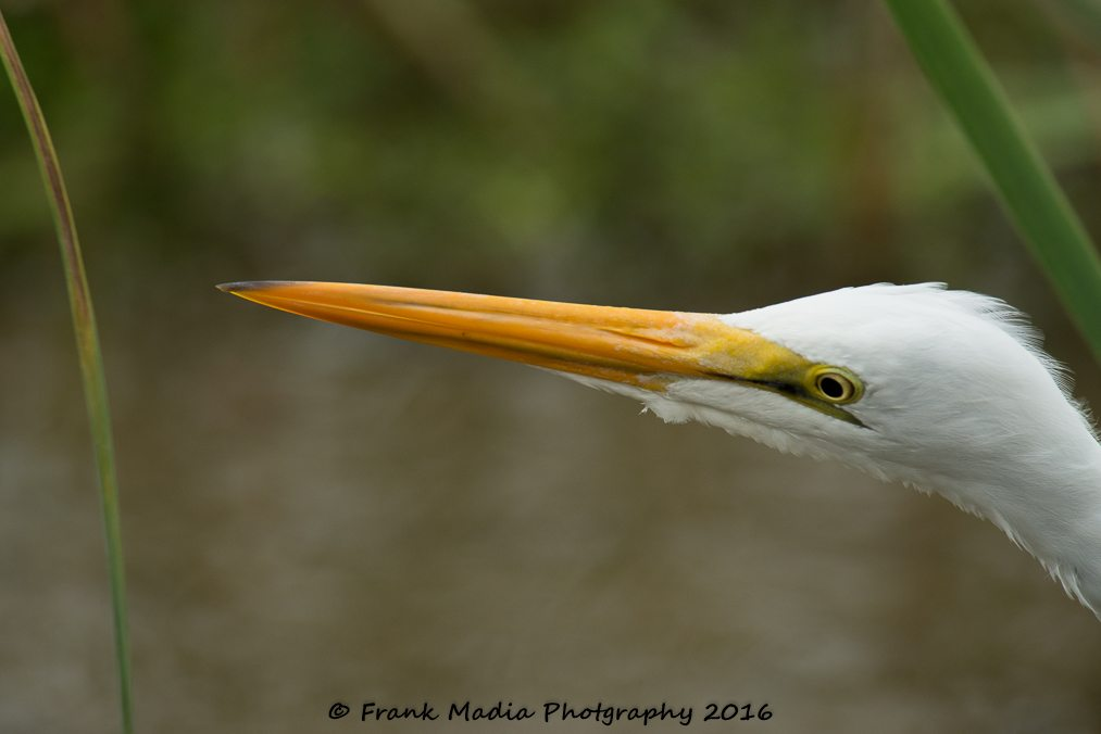 This Great Egret stayed very close to the boardwalk allowing me to get some really neat closeups.