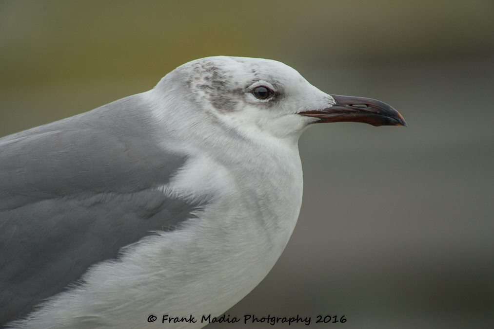 Juvenile Franklin's Gull