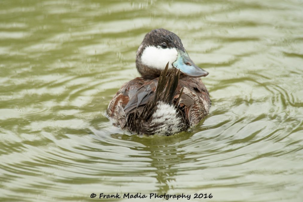 This Ruddy Duck spent a good thirty minutes bathing and grooming. He had me spellbound for a good long time.