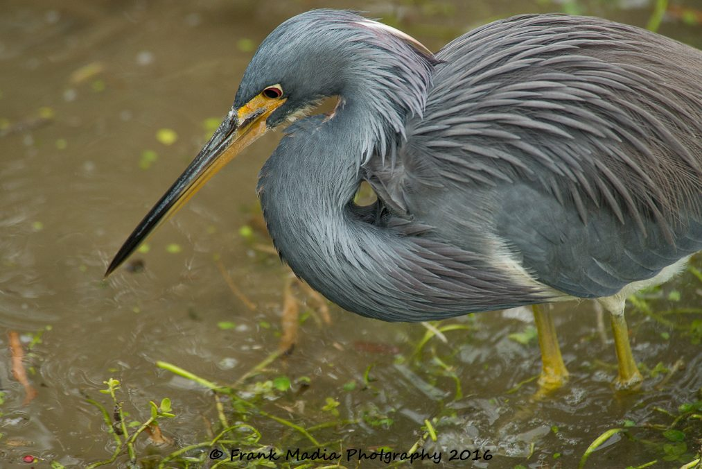 We saw this Tricolored Heron skulking in the reeds, mostly in bad light. I was able to get a few good images of him. Our birding partners got some absolutely fabulous shots that I will forever envy. Part of the problem with this place is that as a photographer one has to pick where to be and try to get the best images from any given location. Meanwhile some great things are happening in other parts of the boardwalk.