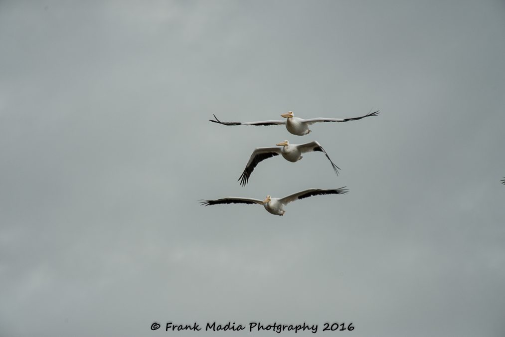 While at Port Aransas Nature Preserve at Charlie's Pasture I was able to get some more practice at large birds in flight. These Pelicans made it fairly easy as they not only large, but they are relatively slow flyers.