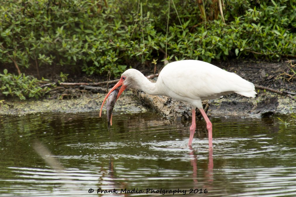This not quite adult White Ibis got hold of a rather large fish. We watched it for several minutes trying to get it down. He made several failed attempts before what may have been a successful complete swallow. At one point he had all but the tail in before the whole thing came back out.
