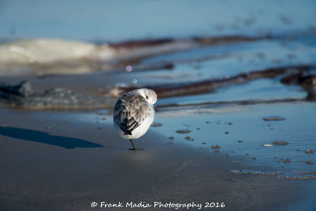 Sanderling taking it easy.