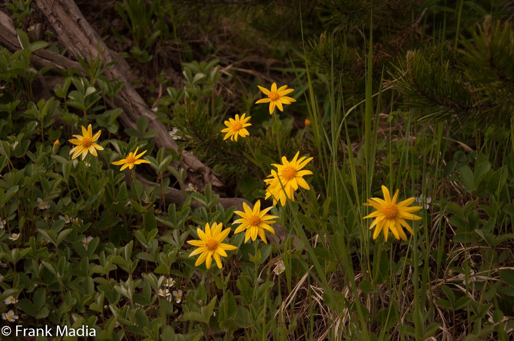 Heartleaf Arnica (Arnica cordifolia) Asteraceae ( Sunflower Family) These beautiful flowers seemed to love the shady areas along the trail.