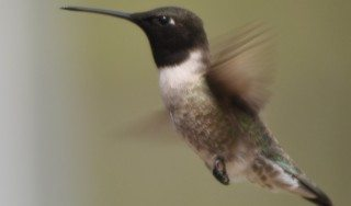 Blcak-chinned Hummingbird