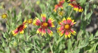 Blanketflower or Indian Blanket