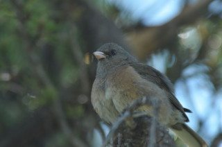 Dark-eyed Junco Preening