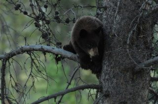 Black Bear Cub - Scared and up a tree.