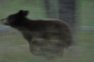 Black Bear Cub hits the ground running.