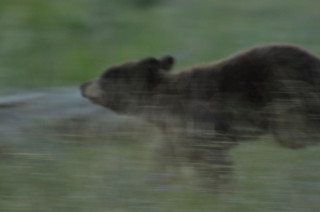 Black Bear Cub running to mother