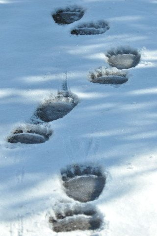 Grizzly Bear Tracks in the Snow