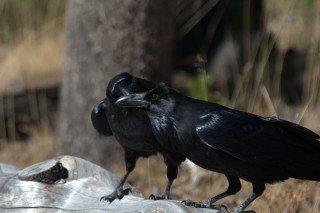 Ravens.