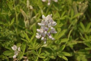 White Texas Bluebonnet