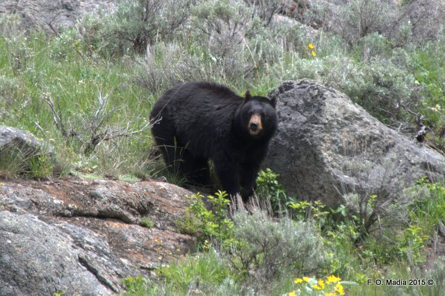Black Bear Along Mammoth to Tower Road