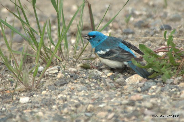 Lazuli Bunting on the Old Mammoth to Gardiner Road