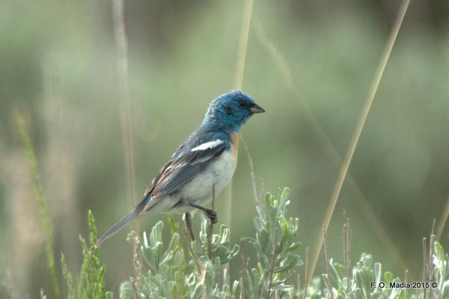 Lazuli Bunting on the Old Mammoth to