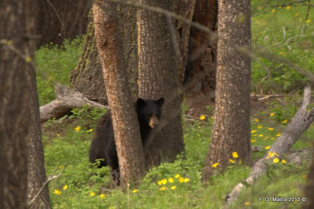 Black Bear at Hell Roaring Trailhead