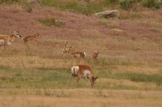 Pronghorn Fawns At Play