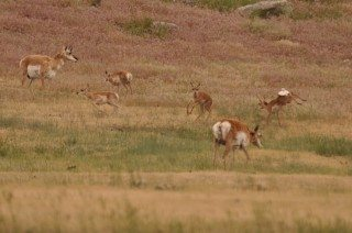 Pronghorn Fawns Kicking Up Their Heels