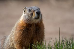 Fearless Yellow-bellied Marmot