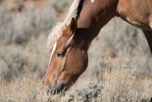 Grazing Wild Horse
