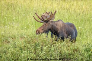 Bull Moose at Tie Flume Campground