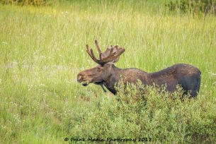 Bull Moose at Tie Flume Campground 3