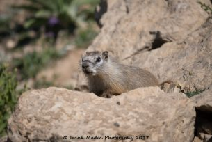 Yellow-bellied Marmot 2